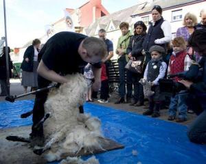 Sheep Shearing at the Llandovery Sheep Festival