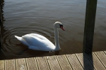 A swan in Llangorse Lake image by Kevin Walker Mountain Activities ©