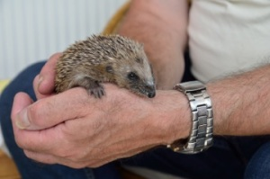 @Will Lewis Good Day Out Hedgehog Helper Morning