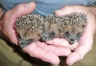 Hedgehog Nursing © Good Day Out