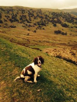 Polly the springer from www.breconcottages.com ©