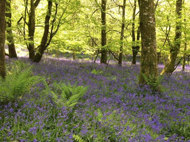 Bluebells at Dinefwr